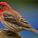 RED HOUSEFINCH by RoseMarie747