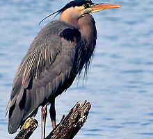 GREAT BLUE HERON by RoseMarie747