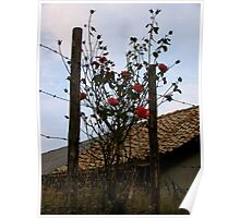 Barbe Wire Roses Poster