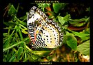 Butterfly (Australia) ~ Orange Lacewing by Kimberly Chadwick