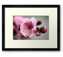 Cherry Pink Framed Print