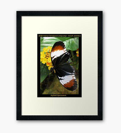Butterfly (S. America) ~ H. heurppa Longwing Framed Print