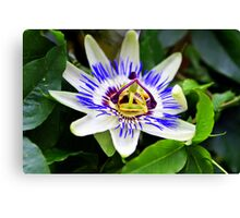 Passion flower at Chico Hot Springs, Montana Canvas Print