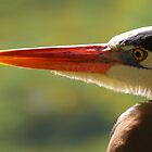 Great Blue Heron Portrait by naturalnomad