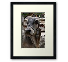 Beautiful Sacred Horned Brahman Cow Portrait Framed Print