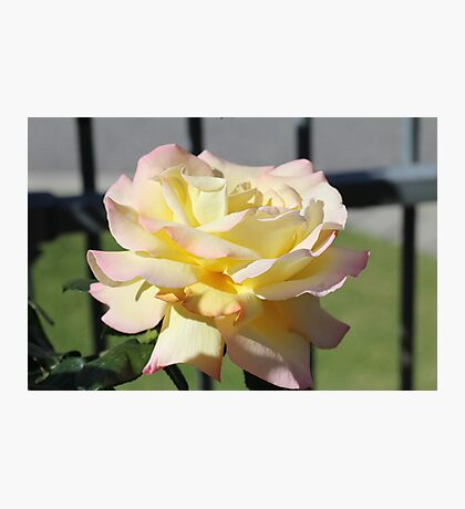 Rosa Peace Photographic Print