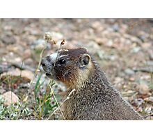 Rocky Mountain Marmot Photographic Print