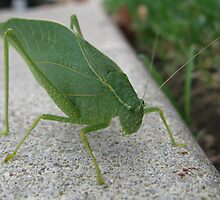 Katydid on the walk by ingridthecrafty