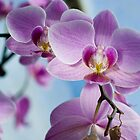 pink orchids by Alena Alhimovici