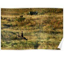 Roos at sunrise...  Grassy Valley, Namadgi. Poster