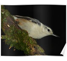 White-breasted Nuthatch on Black Poster