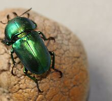 Iridescent Green Christmas Beetle by TimLloyd