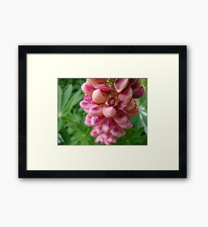 tender loving (lupin flower) Framed Print