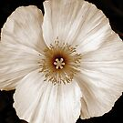 My Sepia Poppy by HEIDI  HORVATH