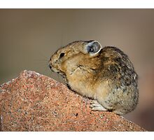 Pika 1 Photographic Print