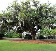 An Airlie Gardens Live Oak by nealbarnett