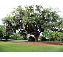 An Airlie Gardens Live Oak Photographic Print