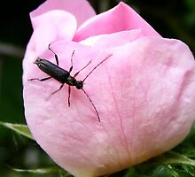 Coleoptera : Beetle by AnnDixon