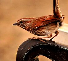 CAROLINA WREN by RoseMarie747