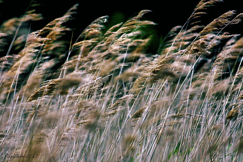 Reeds At Salthouse Marsh by Pixelbloke
