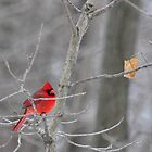 The elusive male cardinal by mltrue