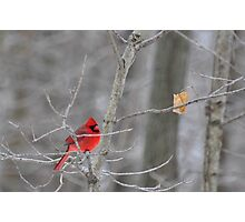 The elusive male cardinal Photographic Print