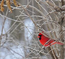 The elusive male cardinal 2 by mltrue