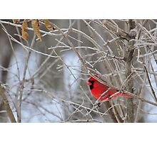 The elusive male cardinal 2 Photographic Print