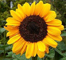 Golden Sunflower by hootonles