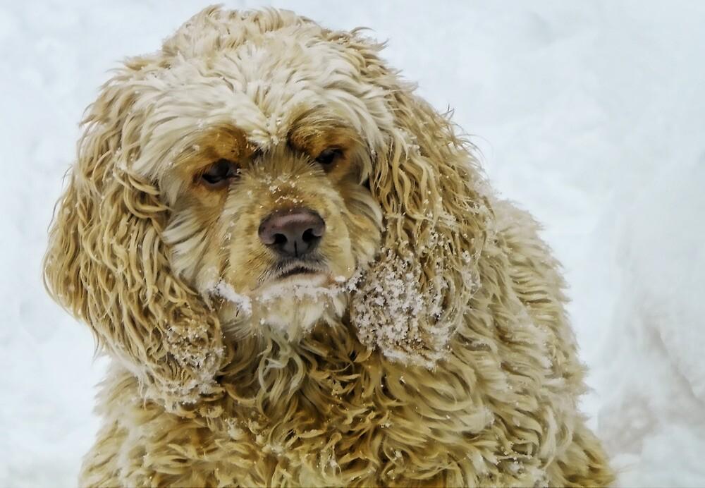 Snow Spaniel by Pamela Phelps