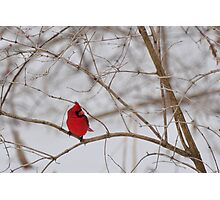 The elusive male cardinal 3 Photographic Print