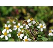 Honeybee on Spanish Needles Photographic Print