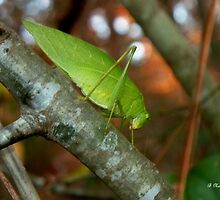 Katydid - (Oh no, Katy didn't) by Betty Northcutt