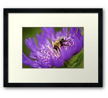 Bee on Cornflower Aster Framed Print