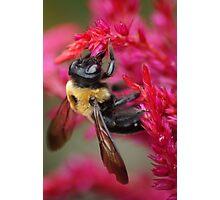Bee on Cockscomb Photographic Print