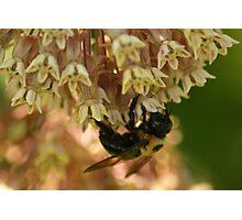 Bee on Milkweed Photographic Print