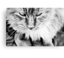 Feline Tranquility  Canvas Print