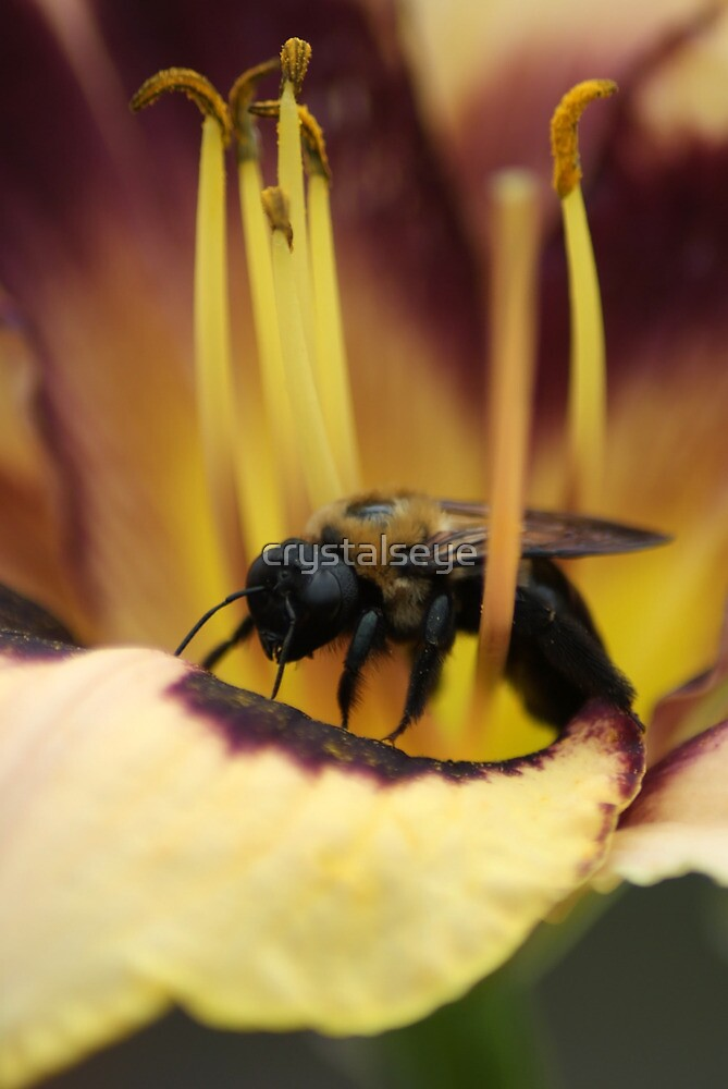 Bee on Lily by crystalseye