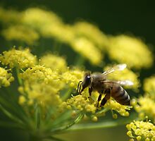 Bee on Fennel by crystalseye