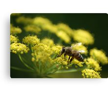 Bee on Fennel Canvas Print