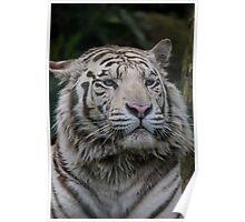 white tiger Poster