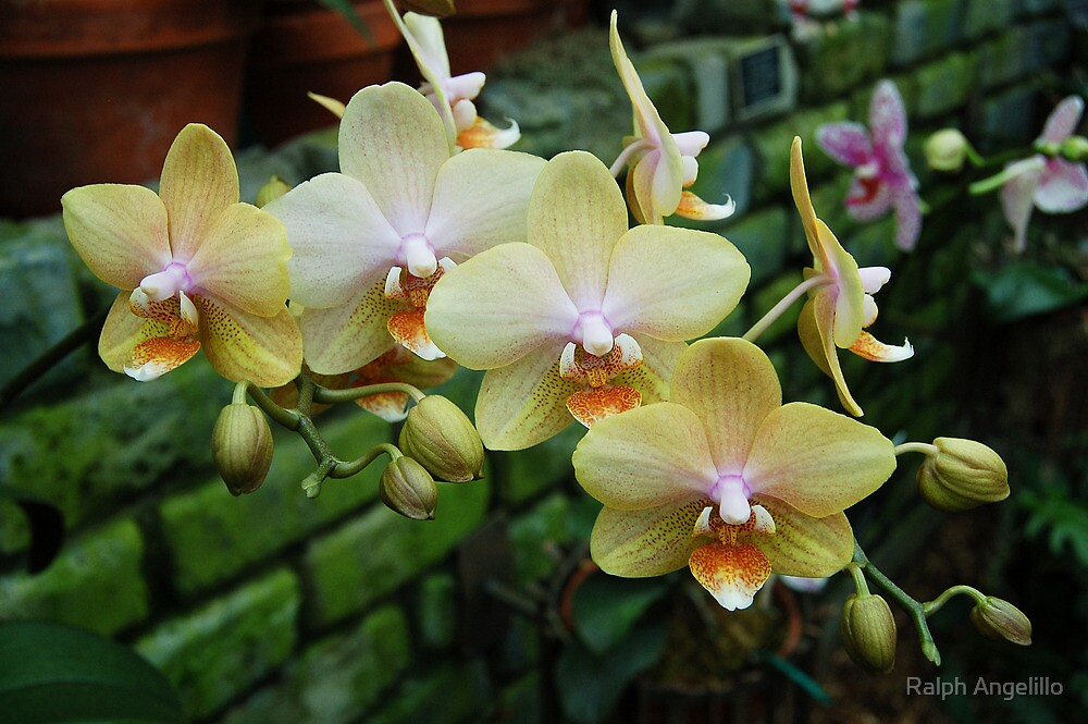 Invasion of the Yellow Orchids by Ralph Angelillo