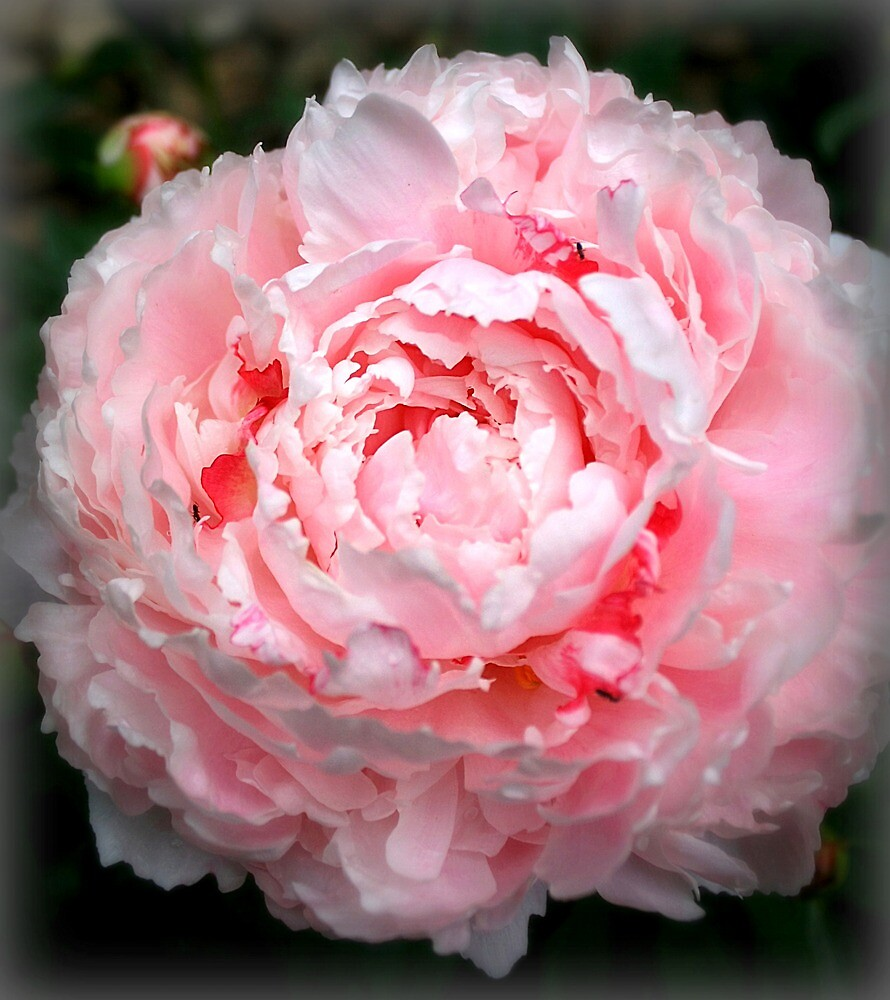 Pink Peony by Diana Nault