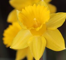Daffodil named Exception Sticker