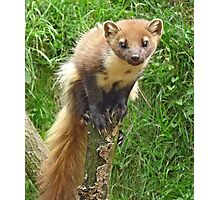 The tree weasel Photographic Print