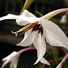 Acidanthera or Peacock Gladiolus by JMcCombie