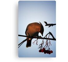 Bohemian Waxwing contemplating a mountain ash berry Canvas Print
