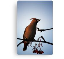 Bohemian Waxwing in Mountain Ash Canvas Print