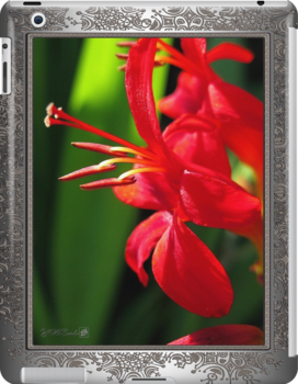 Crocosmia named Lucifer by JMcCombie
