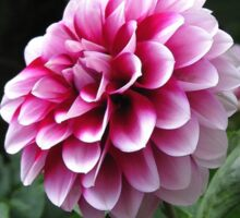 Dwarf Dahlia named Colima Sticker